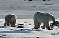 Fedora the polar bear and her cub (6376755945).jpg