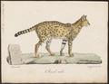 Felis serval - 1818-1842 - Print - Iconographia Zoologica - Special Collections University of Amsterdam - UBA01 IZ22100334.tif
