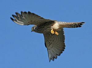 Lesser kestrel - Female in flight showing whitish talons