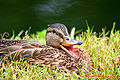Female Mallard Duck at Hyde Park.jpg