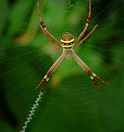Female St Andrew's Cross Spider - Argiope keyserlingi.jpg
