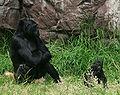 Female gorilla with 8 months old baby boy gorilla in SF zoo.jpg