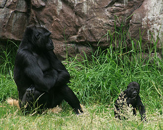 San Francisco Zoo - Female gorilla with eight-month-old baby boy Hasani