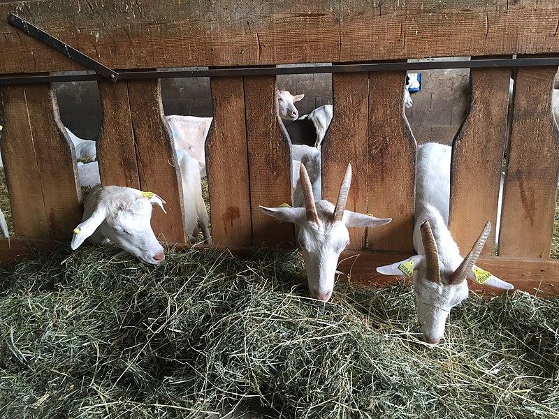 Chèvres à la ferme du Trolliet.