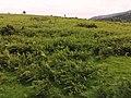 Ferns on Coed-y-Prior Field. - geograph.org.uk - 484873.jpg