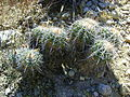Ferocactus flavovirens (5754241288).jpg