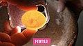 Fertile Pigeon Egg.jpg