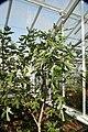 Ficus carica Violette Du Bordeaux 3zz.jpg