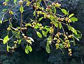 Ficus craterostoma, Krantzkloof Natuurreservaat.jpg