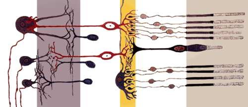 Sensory Systems/Visual Anatomy - Wikibooks, open books for