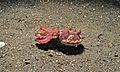 Flamboyant Cuttlefish (Metasepia pfefferi) (6059305255).jpg