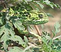 Flapneck Chameleon face 22 08 2010.JPG