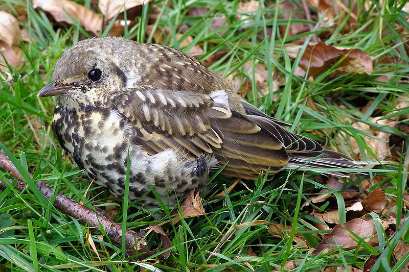 File:Fledgling mistle thrush.jpg