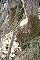 Flekkeroy south IMG 3439 beaver.jpg