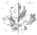 Fleur.chelidoine.png