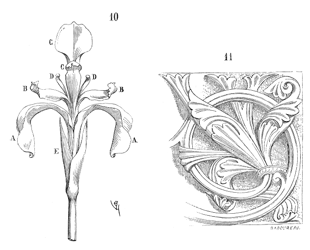 Fleur.iris.2