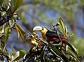 Flickr - Dario Sanches - TUCANO-DE-BICO-VERDE (Ramphastos dicolorus) (5).jpg
