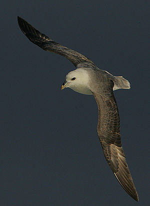 This Fulmar rode the wind of an advancing stor...