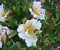 Flickr - brewbooks - Bee in SA Water Garden (1).jpg