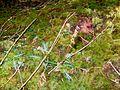 Flickr - brewbooks - Western rattlesnake plantain - along Duckabush trail.jpg