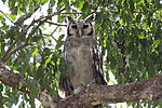 Flickr - don macauley - Verrauxs Eagle Owl.jpg