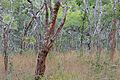 Flickr - ggallice - Miombo woodland.jpg