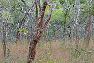 Dry, open woodland with mid-sized trees and high grass