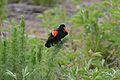 Flickr - ggallice - Red-winged blackbird.jpg