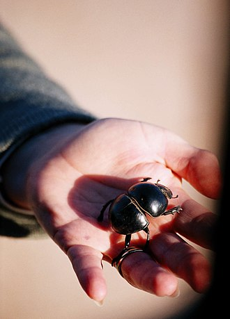 Addo Elephant National Park - Flightless dung beetle