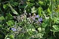Flora della Sardegna 145 (1).JPG