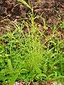 Flora from Madayipara DSCN2604.jpg