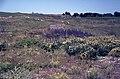 Flower-rich grassland, Wingletang Down, St Agnes, Scilly - geograph.org.uk - 1540882.jpg