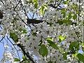Flowering Cherry Tree (243098249).jpeg