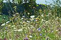 Flowers 2011 - around Ingelfingen (6061112507).jpg