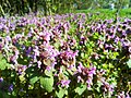 Flowers of Strzeszynskie Lake in Poznan (2).jpg