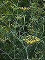 Foeniculum vulgare B.jpg