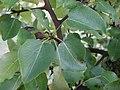 Follas Pyrus cordata, pereira brava, Xardín botánico de Culleredo.jpg