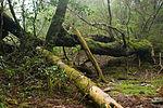 Forest in Yakushima 56.jpg
