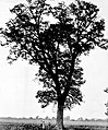 Form of an old growth pecan tree.jpg