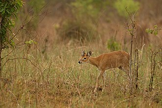 Four-horned antelope - Four-horned antelope prefer habitats with dense undergrowth and tall grasses.