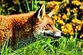 Fox - British Wildlife Centre (16625647153).jpg