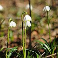 Frühlings-Knotenblume, Leucojum vernum 13.JPG