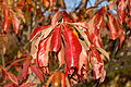 Franklin Tree Franklinia alatamaha Autumn Leaf 2000px.jpg