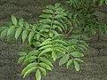 Fraxinus excelsior Blatt.jpg