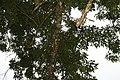 Fraxinus uhdei 13zz.jpg
