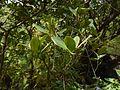 Freshwater Mangrove (8150097359).jpg