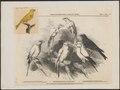 Fringilla canaria - 1858 - Print - Iconographia Zoologica - Special Collections University of Amsterdam - UBA01 IZ16000057.tif