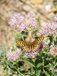 <i>Speyeria egleis</i> species of butterfly