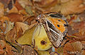 Fruit-piercing Moth (Eudocima materna) on marula fruit (16277347140).jpg