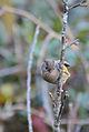 Fulvetta manipurensis.jpg